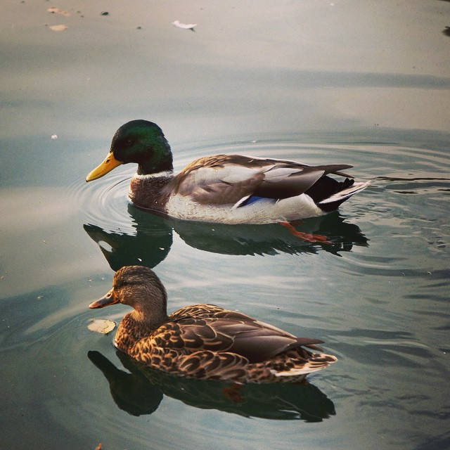 ?? #fall #ducks #canada #canadiantravel #travel #thriftynomads