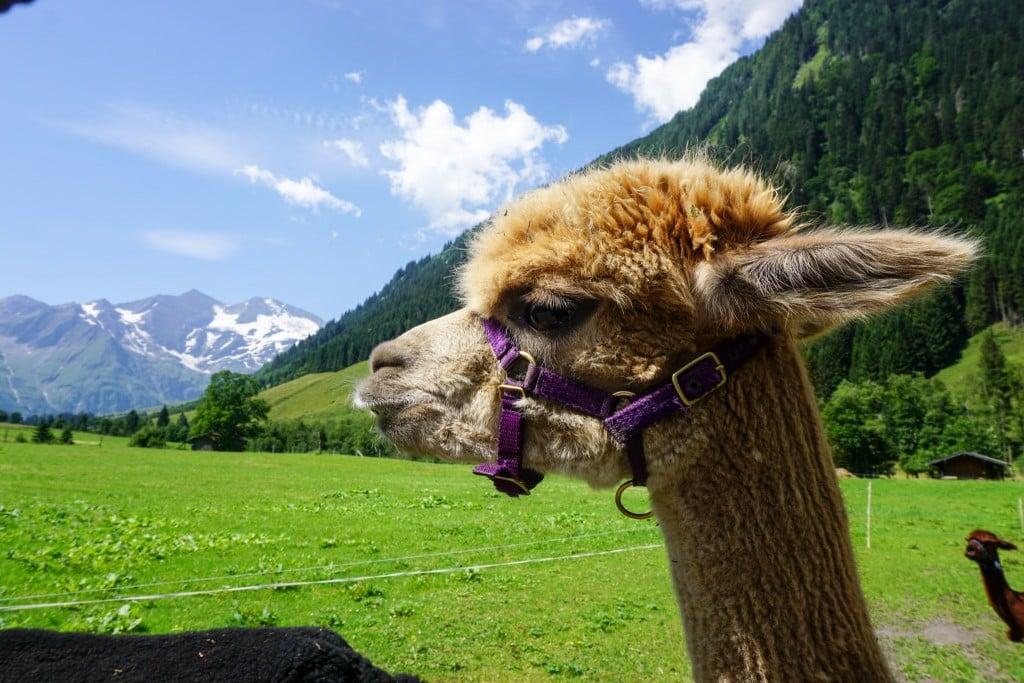 Contemplative llama