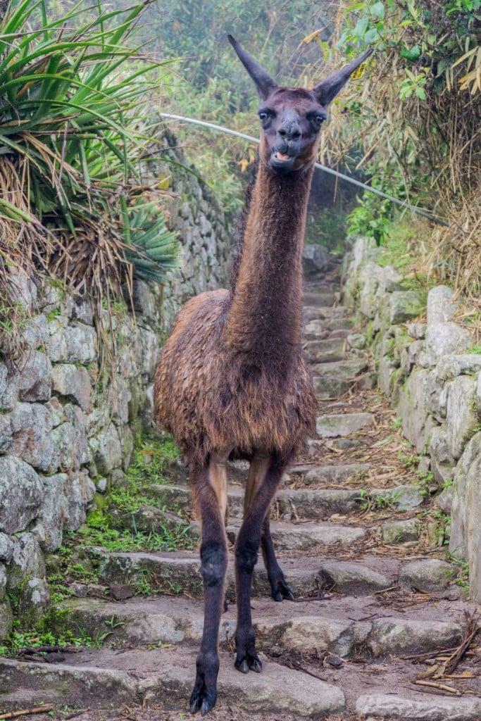 Machu Picchu Llama alpaca