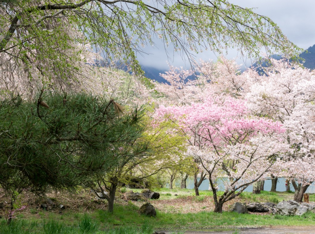 Mount Fuji region speckled with cherry blossoms